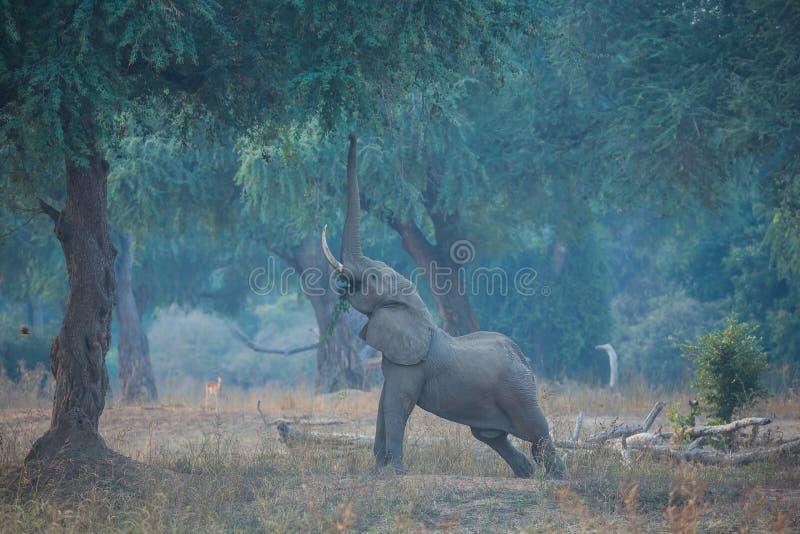 Elefante que estira para alcanzar las semillas fotos de archivo