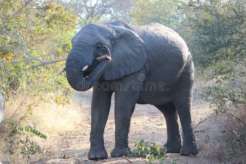 Elefante que lleva una pequeña rama imagen de archivo libre de regalías