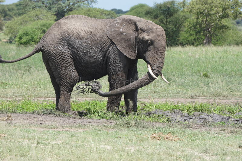 Elefante que refrigera fora fotos de stock