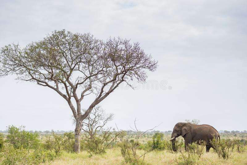 Elefante que se coloca cerca de un árbol alto fotos de archivo