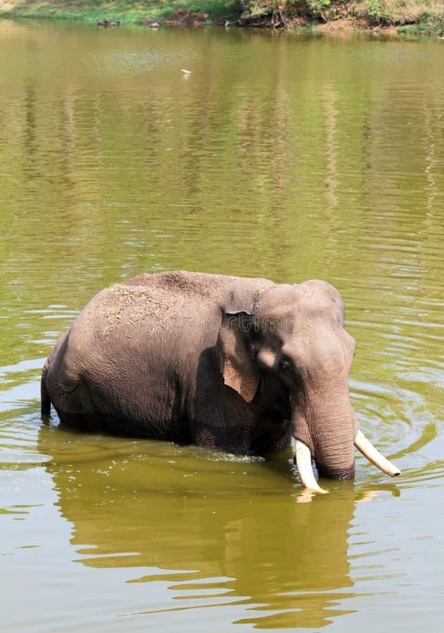 Elefante que se refresca apagado en el calor del verano imagen de archivo