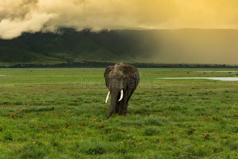 Elefante que vem para o espectador imagens de stock royalty free