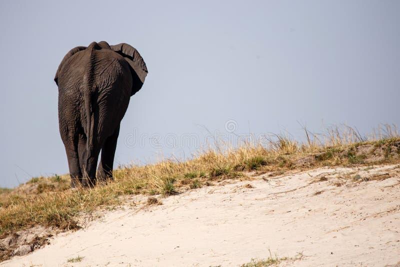 Elefante - rio de Chobe, Botswana, África fotografia de stock royalty free