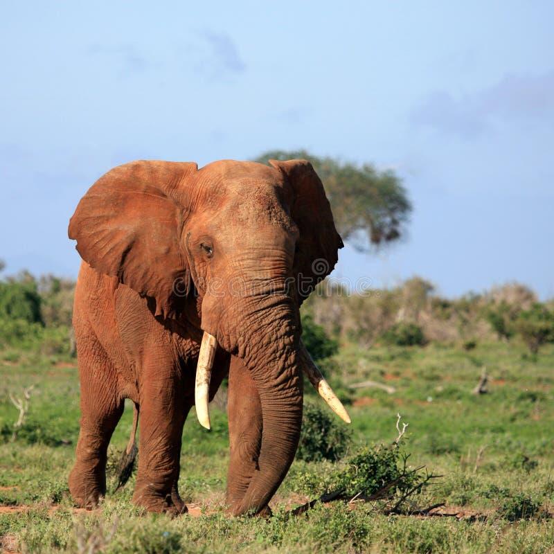 Elefante rojo Tsavo Kenia del este foto de archivo
