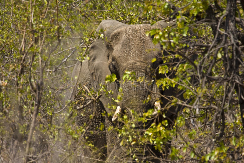 Elefante salvaje que oculta en el arbusto, parque nacional de Kruger, SURÁFRICA fotos de archivo
