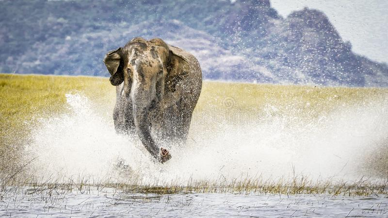 Elefante selvagem de carregamento na ?gua, Sri Lanka foto de stock