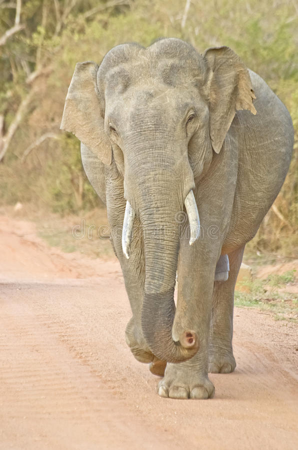 Elefante selvagem no parque nacional de Yala, Sri Lanka fotografia de stock