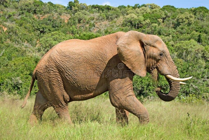 Elefante selvagem que come a grama imagens de stock royalty free