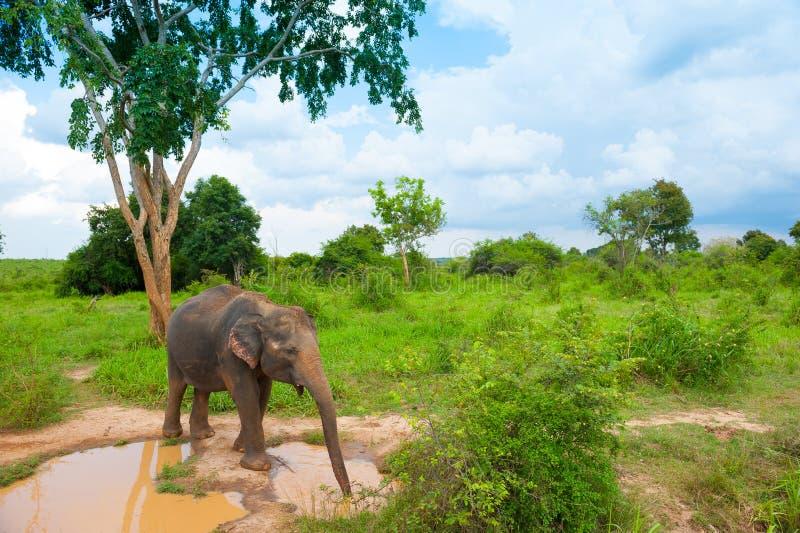Elefante selvaggio immagini stock libere da diritti