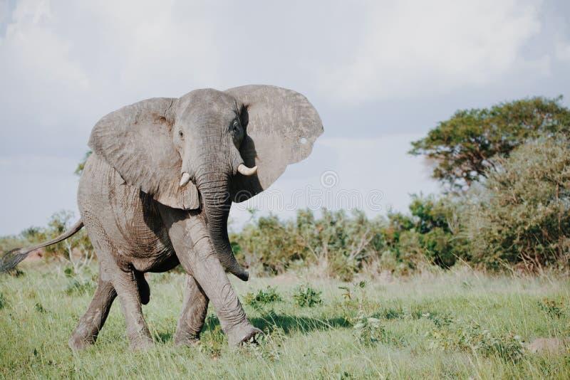 Elefante selvaggio in Africa immagini stock