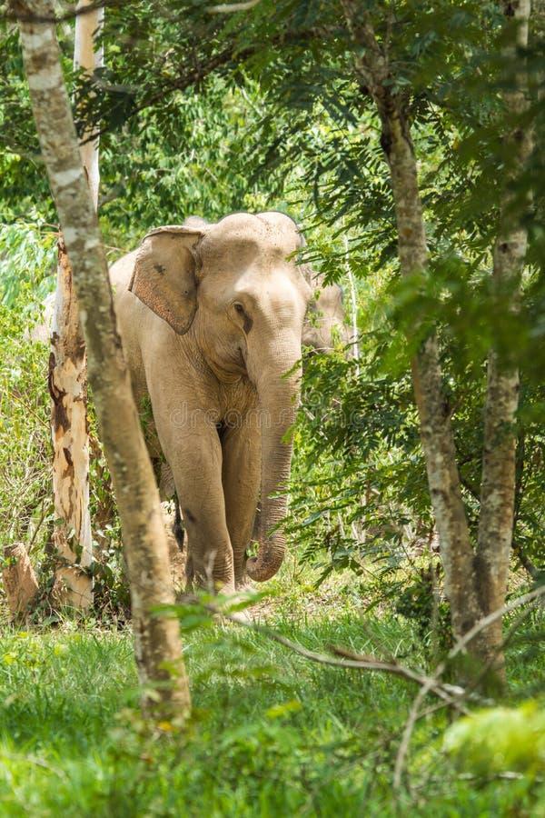 Elefante selvaggio che cammina nella foresta immagini stock