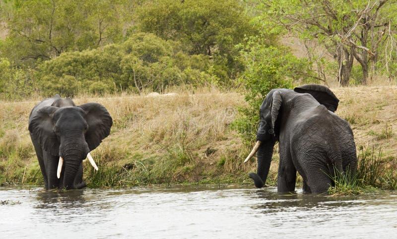 Elefante selvaggio che sta al gioco la sponda del fiume, savana africana, Kruger, Sudafrica immagine stock