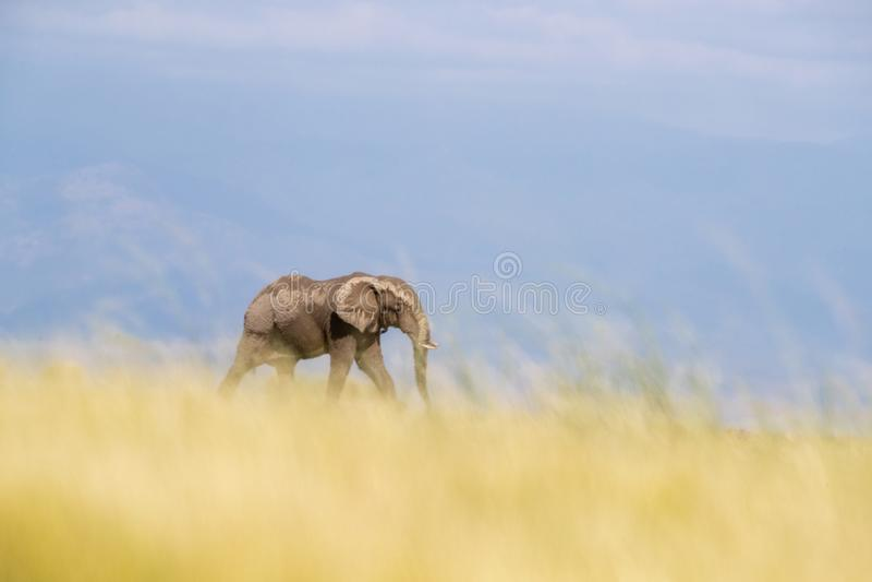 Elefante solitário que anda através da grama longa de Amboseli, Kenya fotos de stock royalty free