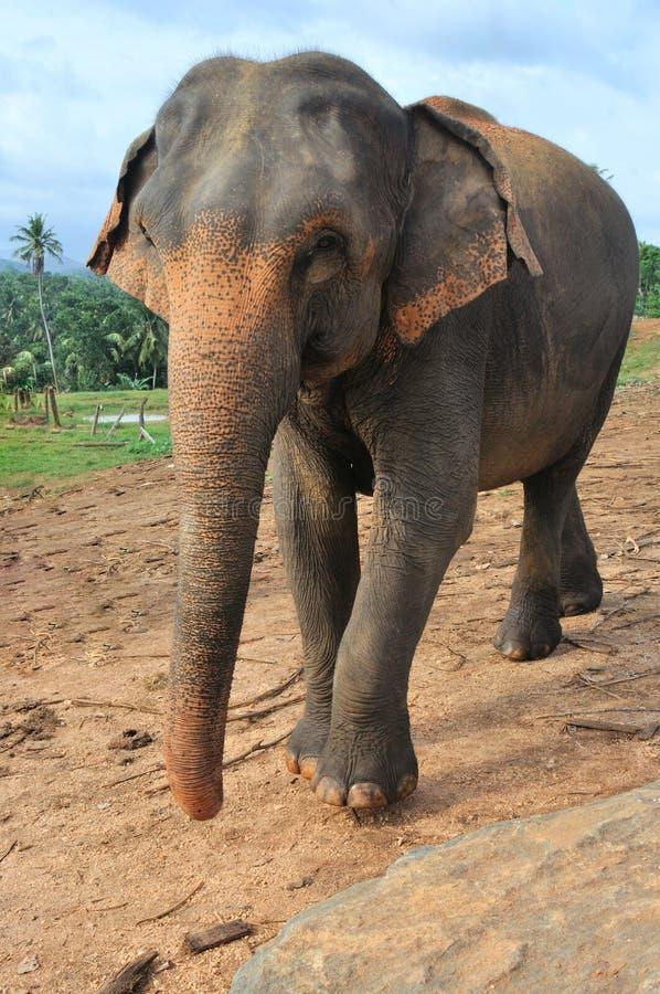 Elefante solitario foto de archivo libre de regalías