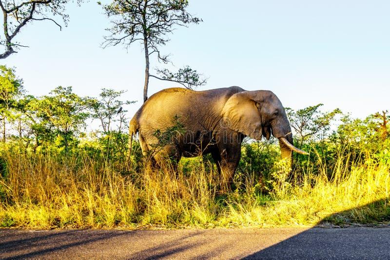 Elefante solitario en preguntarse a través de la hierba en la salida del sol cerca del campo de resto de Pretoriuskop imagenes de archivo
