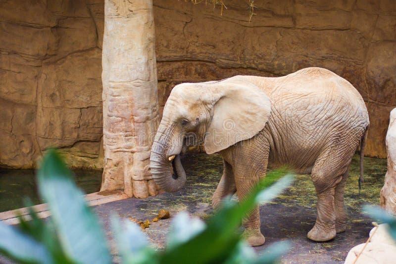 Elefante solitario por el árbol imagen de archivo