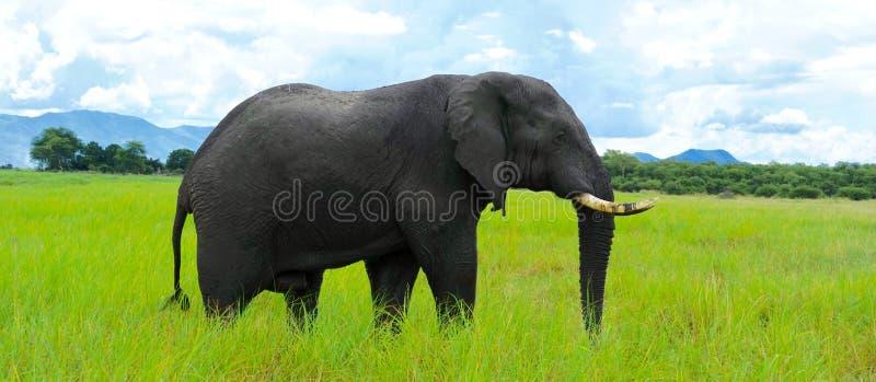 Elefante solo fotografie stock libere da diritti