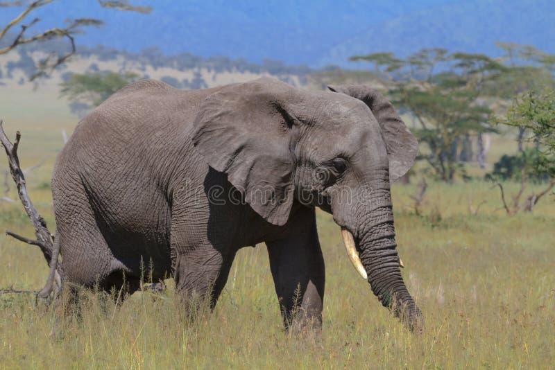Elefante solo en la sabana de Serengeti Tanzania, África imagen de archivo libre de regalías