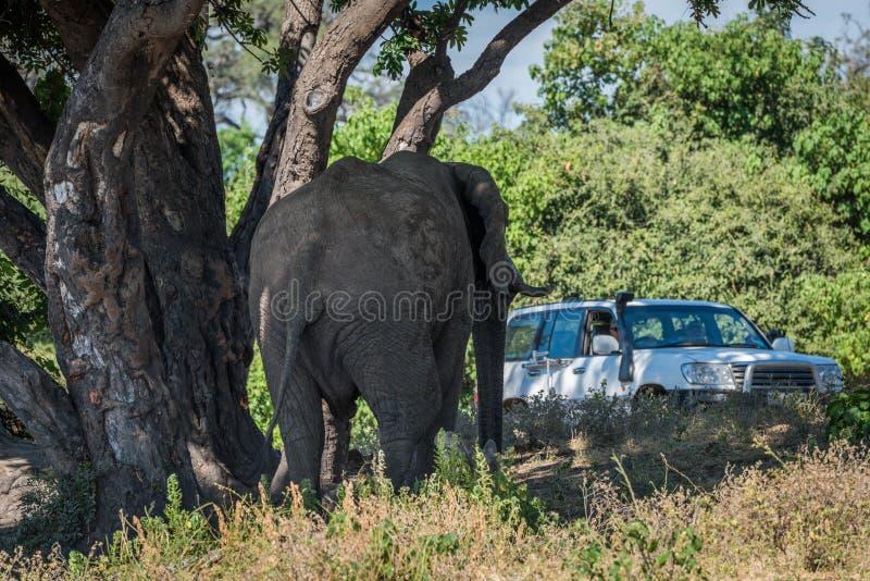 Elefante sotto la jeep d'avvicinamento dell'albero sulla pista fotografia stock