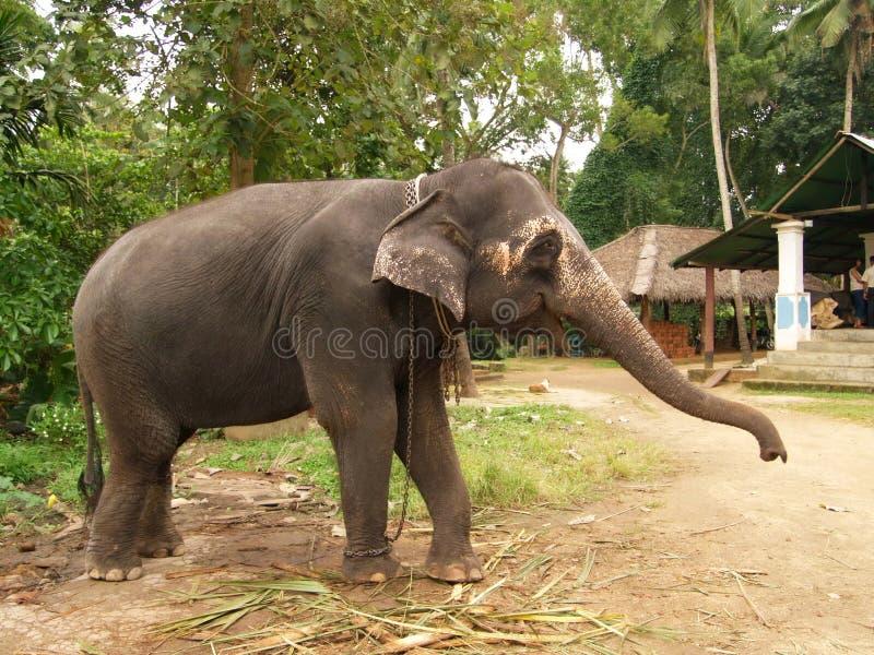 Elefante, Sri Lanka fotografía de archivo