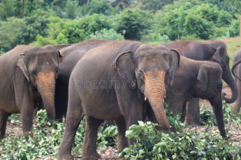 Elefante srilanqués foto de archivo