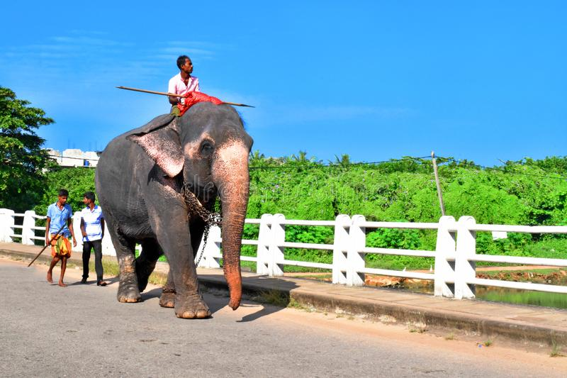 Elefante srilanqués fotografía de archivo