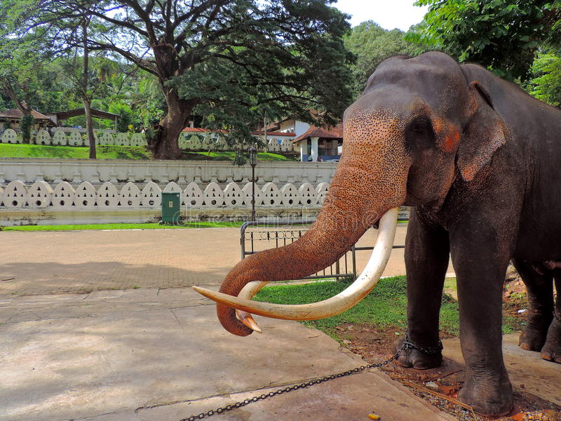 Elefante srilanqués fotos de archivo