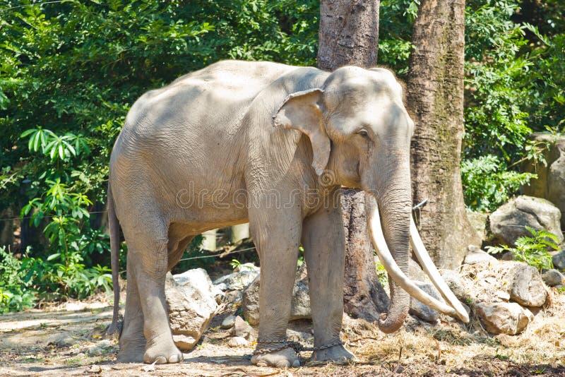 Elefante Sud-est asiatico Tailandia dell'Asia immagine stock