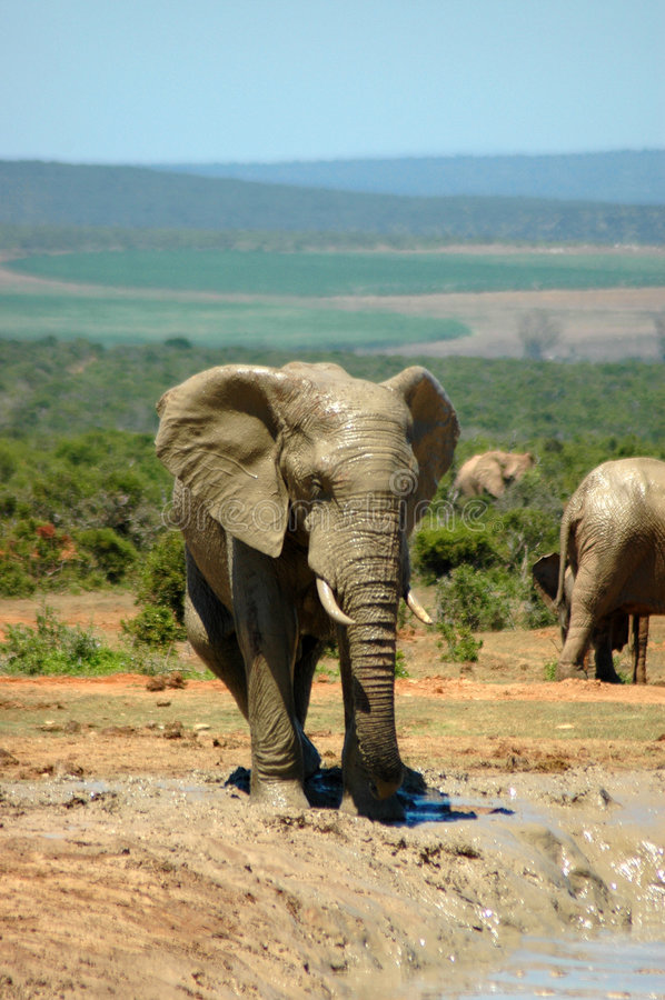 Elefante in Sudafrica fotografia stock libera da diritti