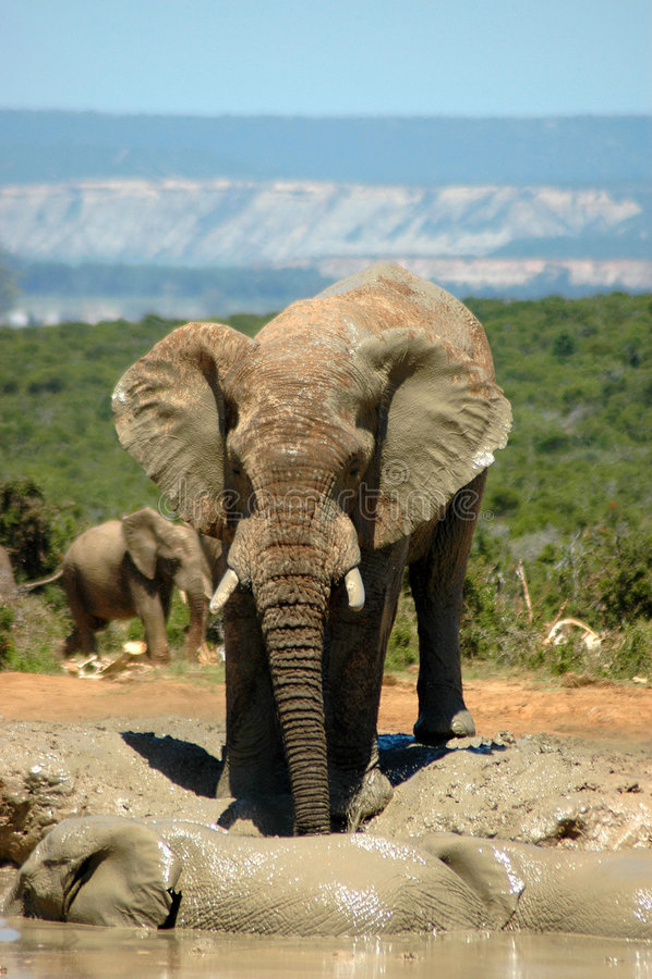 Elefante in Sudafrica immagini stock libere da diritti