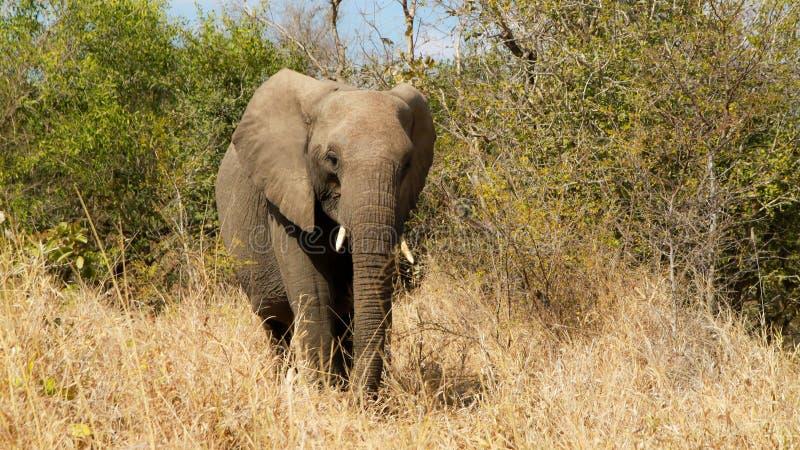 Elefante Sudafrica fotografie stock