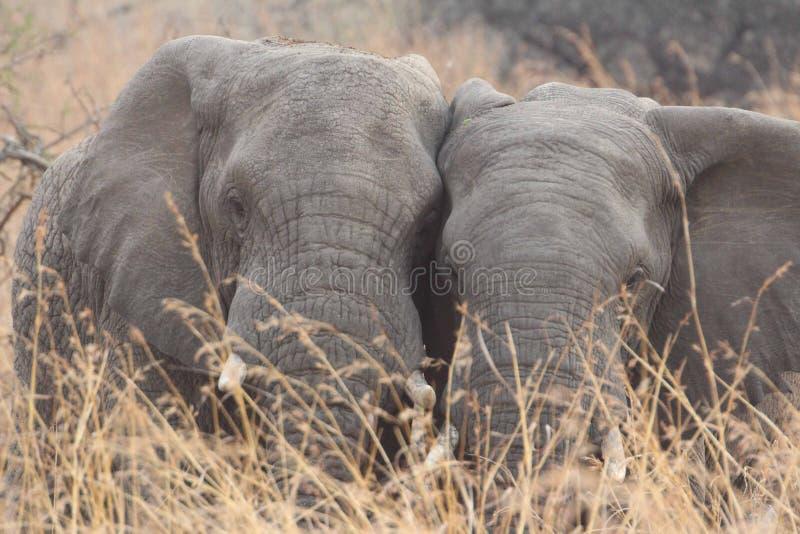 Elefante sudafricano fotografie stock