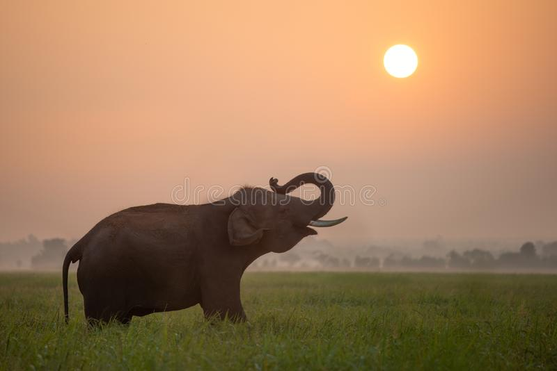 Elefante sui precedenti del tramonto, elefante della siluetta tailandese in surin Tailandia fotografie stock