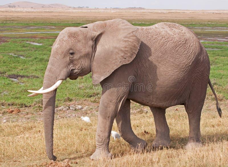 Elefante sul Masai Mara fotografia stock libera da diritti