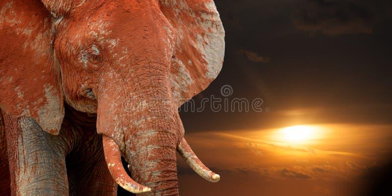 Elefante sulla savana in Africa sul tramonto fotografia stock