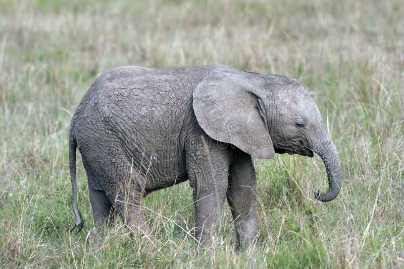 Elefante sveglio e piccolo del bambino che sta nell'erba della savana africana fotografia stock