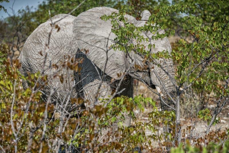 Elefante tímido ocultado detrás de arbustos fotos de archivo
