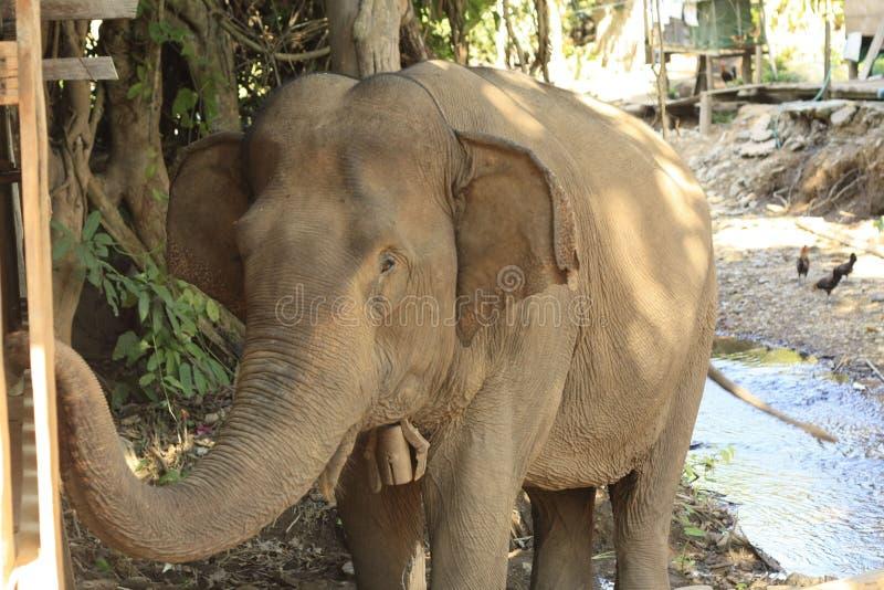 Elefante tailandés en un pueblo en Tailandia, Asia sudoriental fotos de archivo