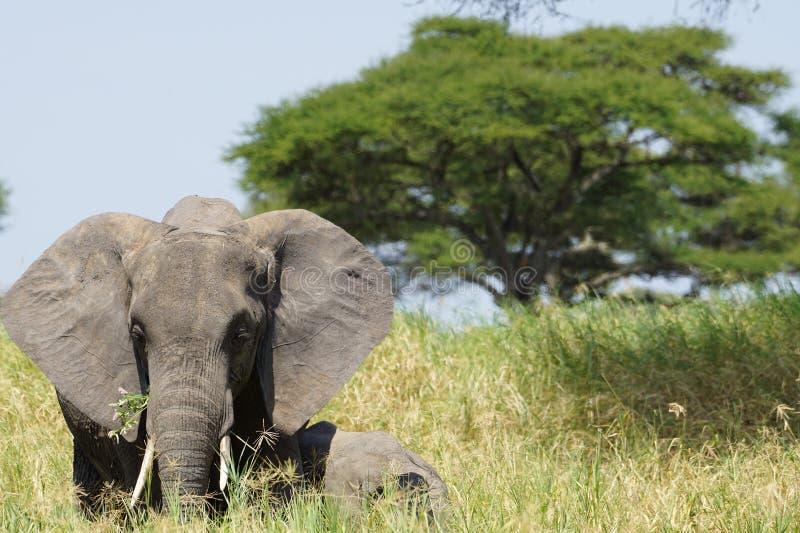 Elefante in Tarangire, Tanzania fotografia stock