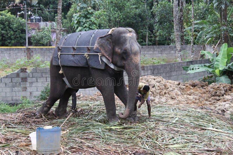 Elefante tenuto con le catene fotografia stock libera da diritti