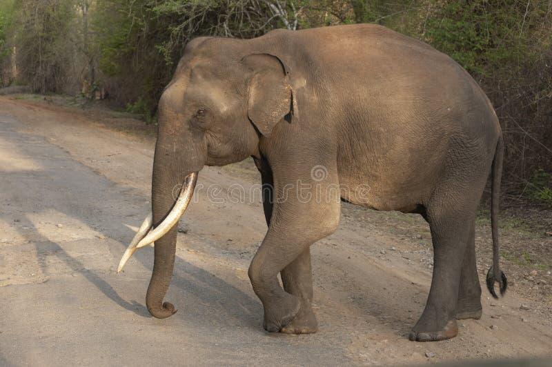 Elefante Tusker alla luce anche, Kabini, Nagarhole, il Karnataka, India fotografie stock libere da diritti