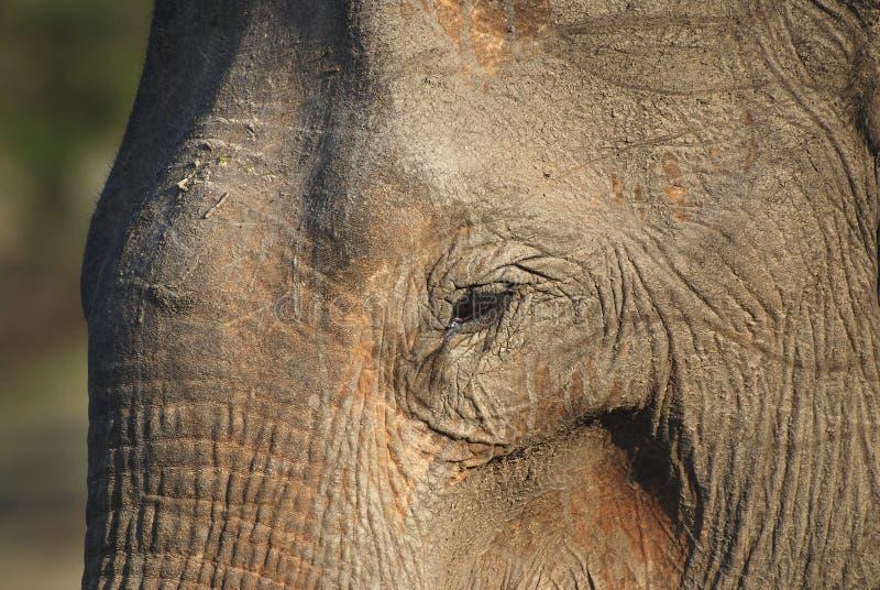 Elefante velho foto de stock