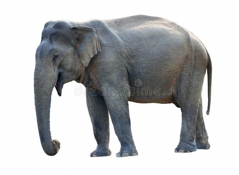 Elefante viejo fotografía de archivo