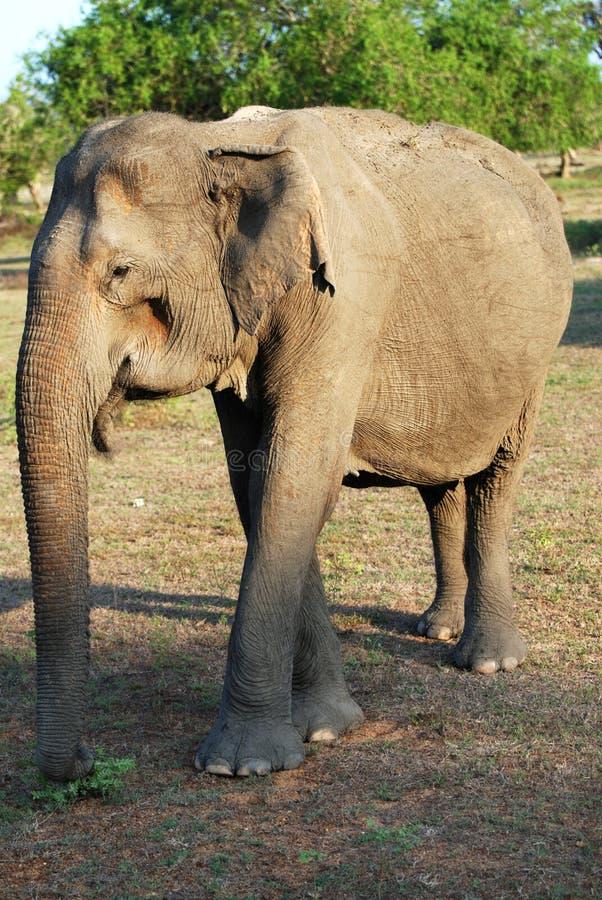 Elefante viejo foto de archivo