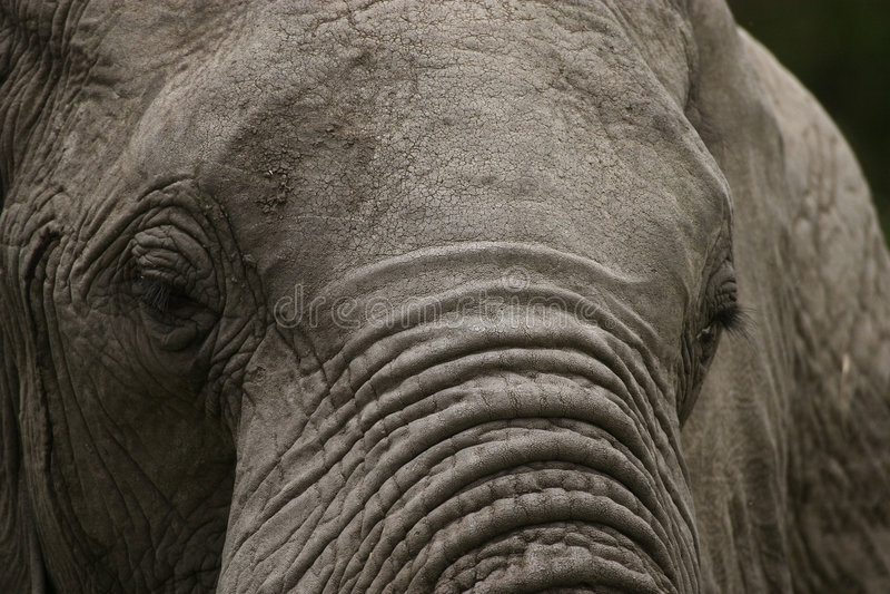 Elefante viejo, crujiente foto de archivo