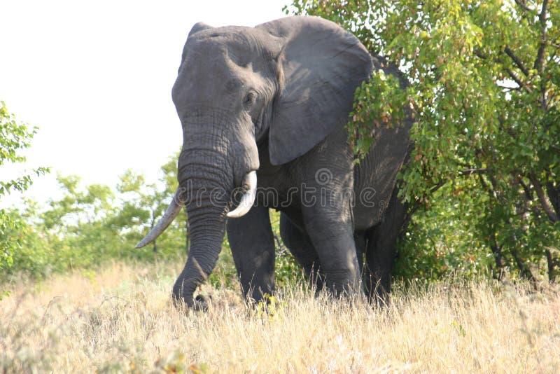 Elefante viejo y sabio en hábitat natural foto de archivo libre de regalías