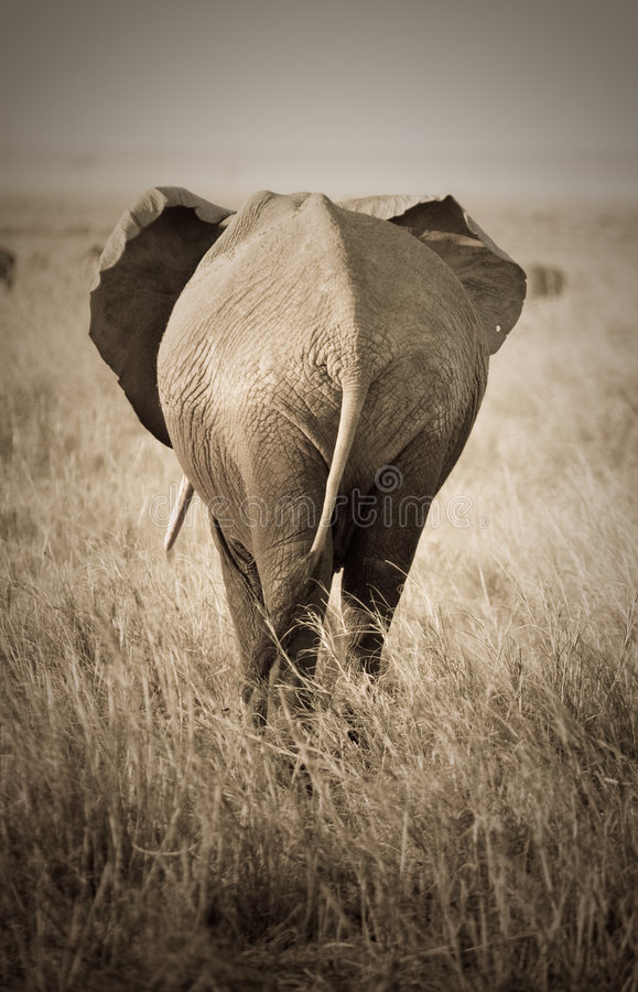 Elefante, vista traseira imagens de stock royalty free