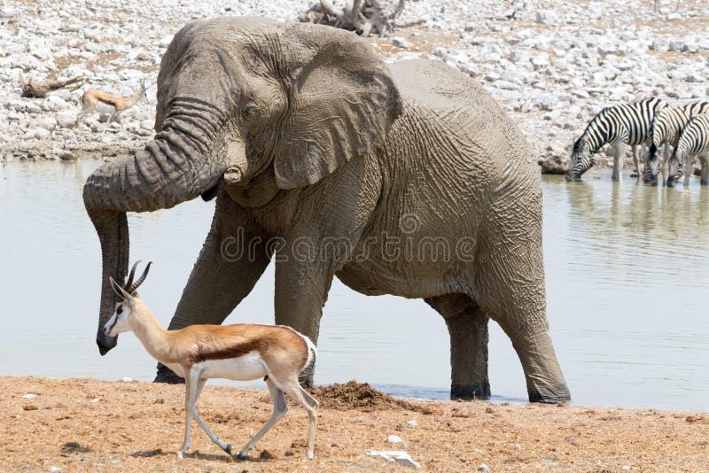 Elefante a Waterhole fotografia stock