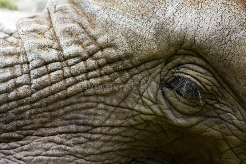 Elefante Wiseman foto de stock