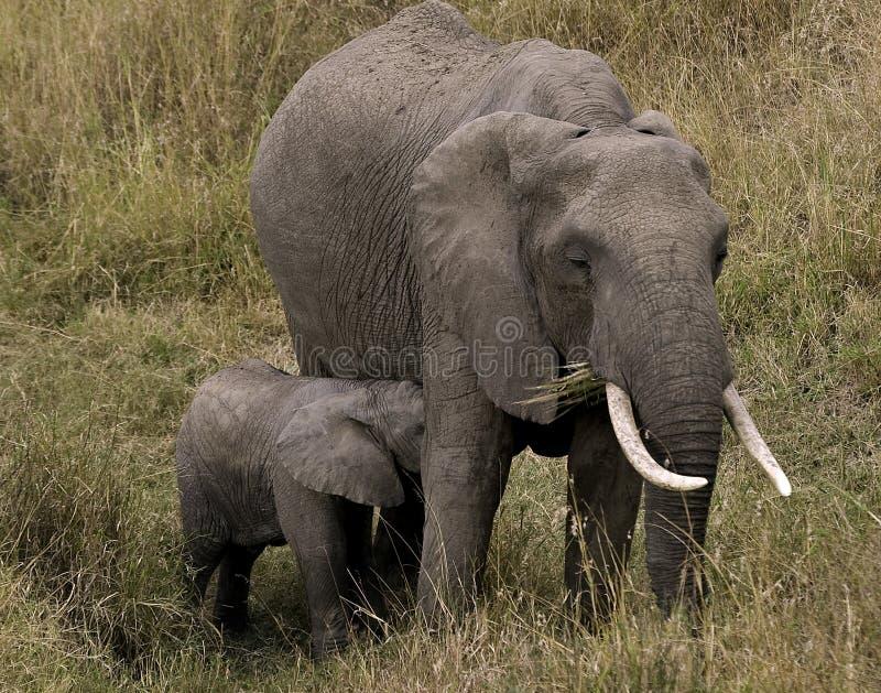 Elefante y becerro femeninos imagenes de archivo